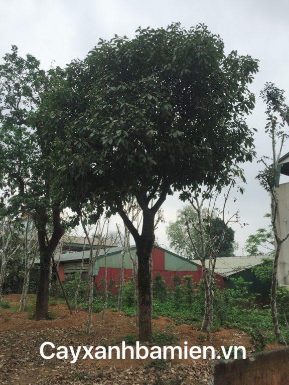 Cây lộc vừng tại vườn vươm chờ mang đi trồng tại các khu đô thị