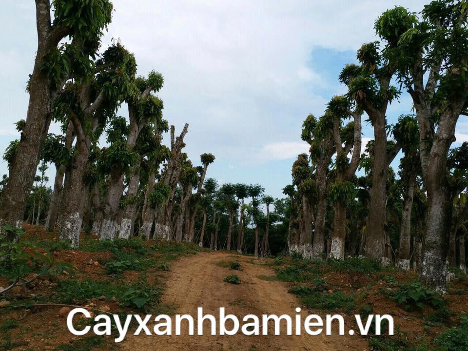Rất nhiều cây xoài cỡ lớn được thu mua