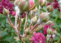 Chữa cây Hoa hồng bị phấn trắng