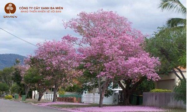Ý nghĩa của cây kèn hồng
