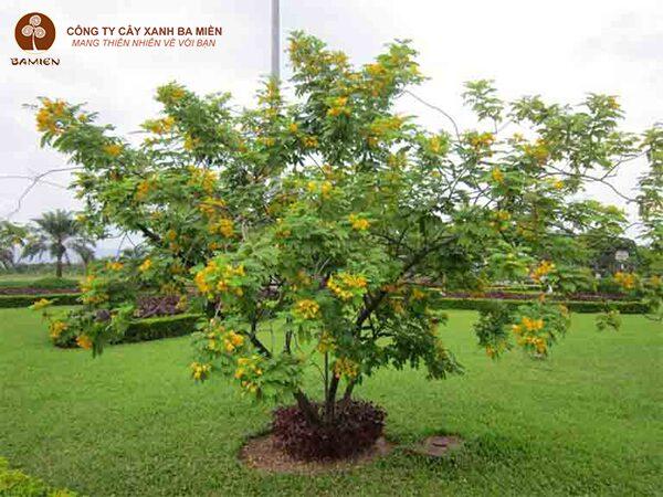 Kỹ thuật trồng và chăm sóc cây điệp vàng