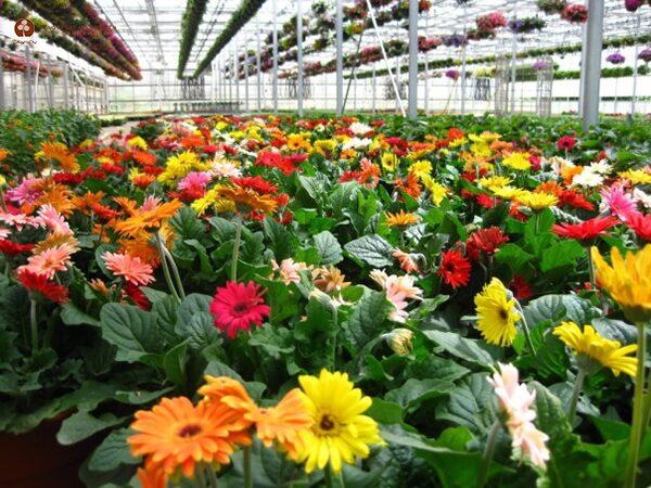 Cách trồng cây hoa đồng tiền