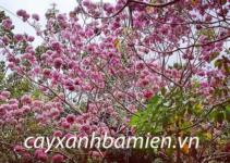 Cây phong linh hoa tím