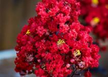 Cây tường vi huyết long (tường vi hoa đỏ)