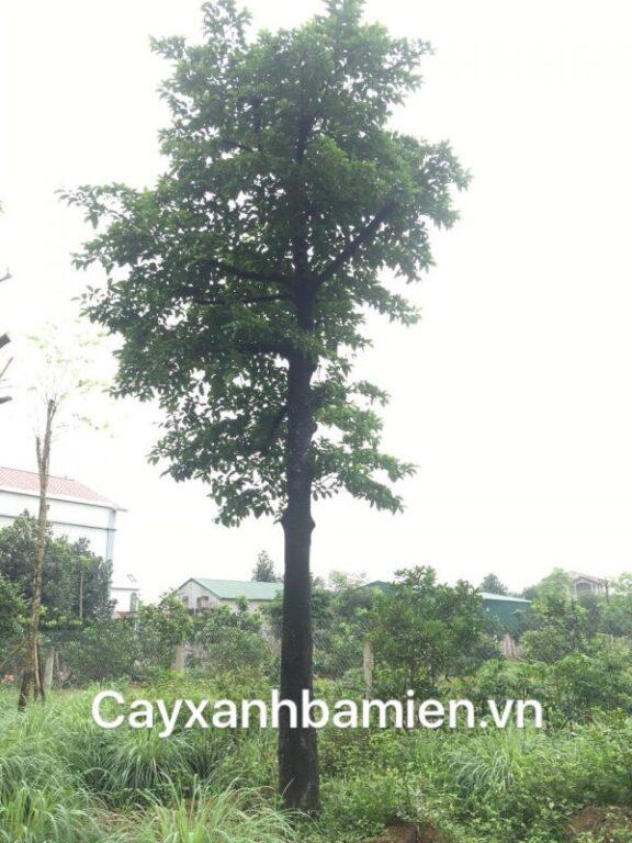 Ý nghĩa phong thủy cây Chay