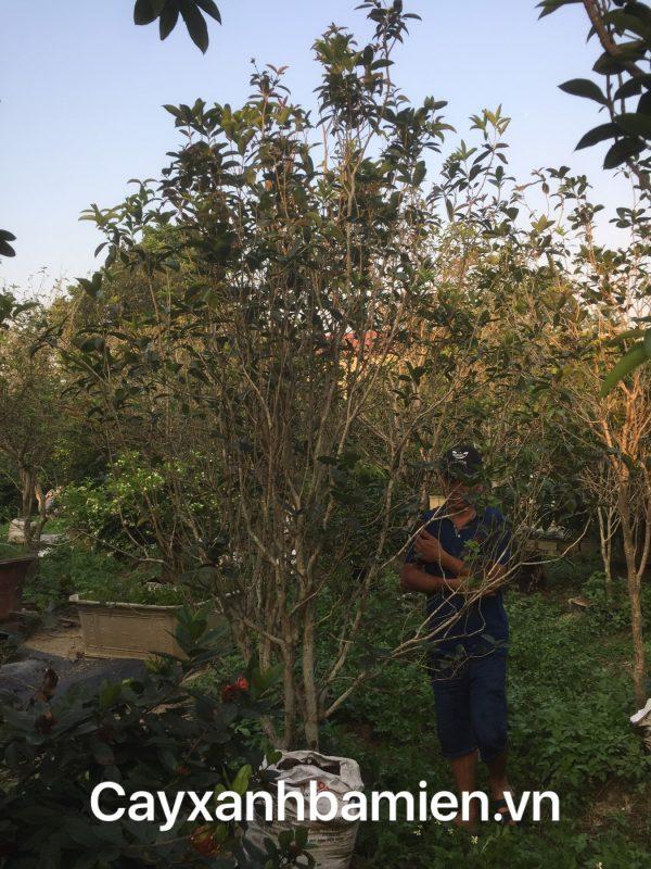 Ý nghĩa phong thủy cây Mộc Hương