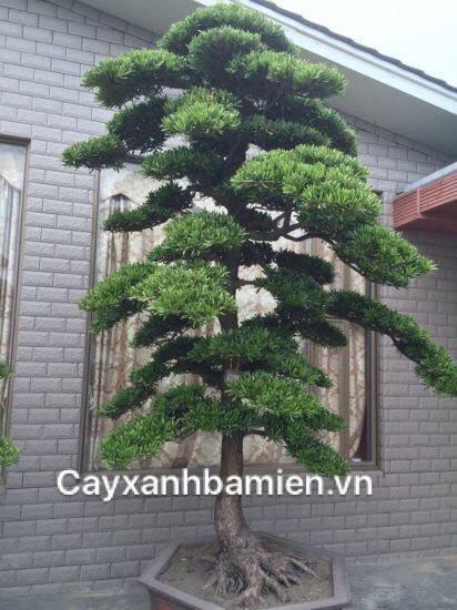 Ý Nghĩa phong thủy cây Tùng La Hán